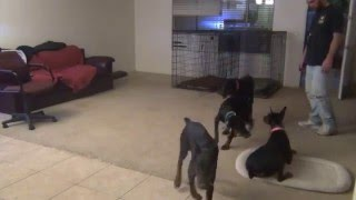 Doberman Pinscher, House Training, Puppies
