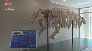 На Камчатке открылась экспозиция, посвященная морской коровы Стеллера.