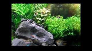 Harlequin Rasbora Dancing - 3 Foot Planted Tank