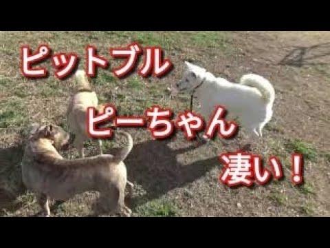【ピットブル】ハンデある犬を守る!ピーちゃん凄い! Dog Rescue