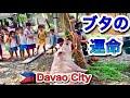 【ブタの運命@フィリピン】うちのブタが売れてからどうなるか?という内容の動画です。7分と長めですが、ぜひご視聴ください。#フィエスタ #フィリピン #ダバオ #ブタ #養豚 #philippines