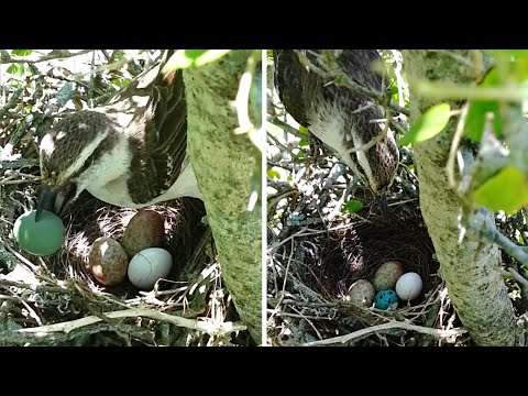These eggs shed light on a battle of wits between cowbirds and mockingbirds