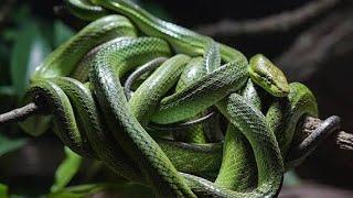 दुनिया का सबसे खतरनाक सांपों का द्वीप, जहां 2 लाख से अधिक सांप रहते हैं || Dangerous Snake Island
