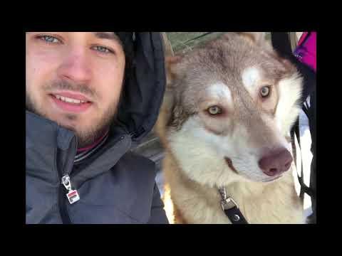Saarloos wolfhond , wolfdog, Волчья собака Сарлоса.
