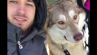 Самая большая в мире волчья собака Саарлоса Saarloos Wolfdogs Волкособ