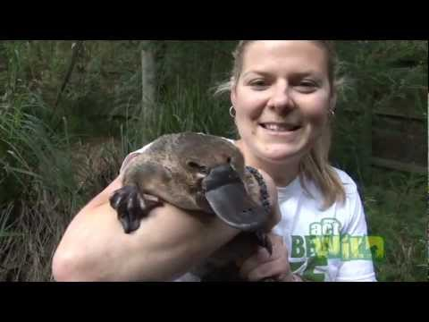 Travel Australia. Platypus, Only in Australia