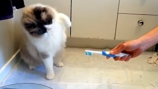 Кошки против Зубных щеток! Подборка!