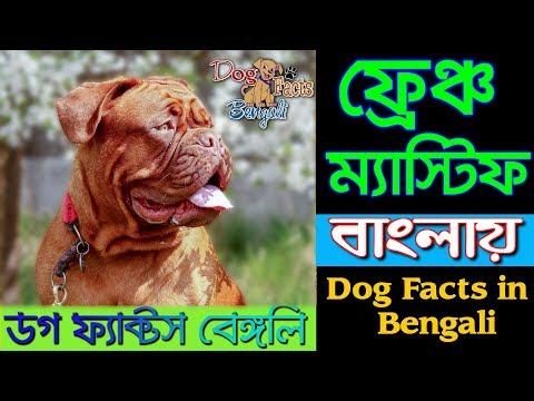 French mastiff dog facts in Bengali   Popular dog Facts   Dog Facts Bengali