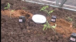 Посадка томатов. Высадка рассады в теплицу.(Наш способ высадки рассады томатов неограниченных в росте (индетерминантных), на видео - посадка сорта