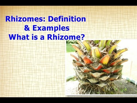 Rhizomes: Definition & Examples | What is a Rhizome?