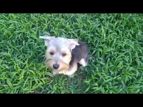 Real recall saves pups lives!! | Yorkie Maltese Mix | Best Georgia Dog Training