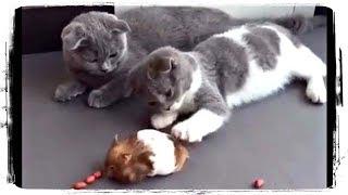 СМЕШНЫЕ ХОМЯКИ (FUNNY HAMSTERS), приколы с животными (fun with animals) #497