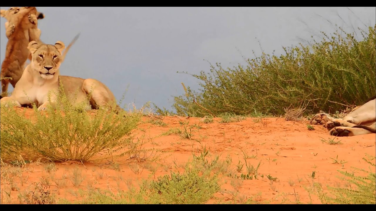 Lion Cubs playing with Mom and old Dad in the Kalahari