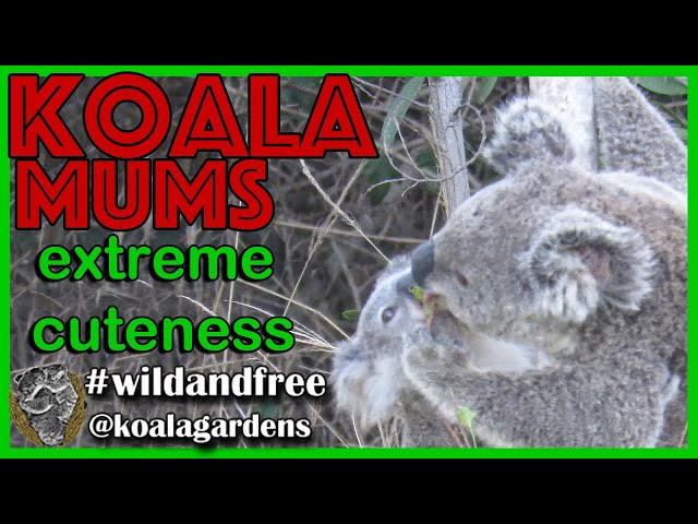 Extreme koala cuteness overload - 🐨 koala 🐨 mums are the best  ever let's see them with their joeys