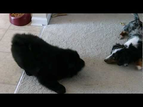 New Chow Chow puppy Chao playing