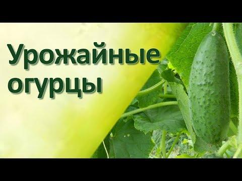 Огурцы в открытом грунте в Сибири