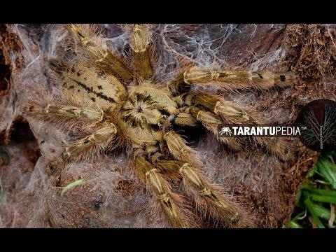 One of the most venomous tarantulas!