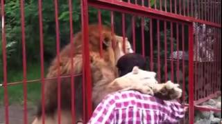 Lion Hugs and Kisses A Woman Who Rescued Him