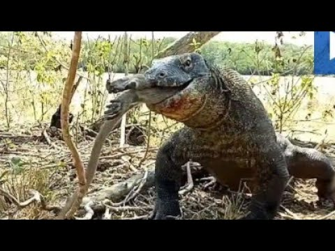 komodo-dragon-is-caught-eating-a-still-alive-monkey