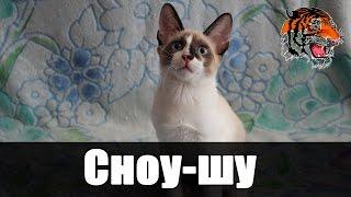 Сноу-шу- порода кошек, созданная путём скрещивания сиамских кошек классического окраса с двуцветными