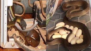 Giật mình phát hiện rắn độc đang ấp trứng dưới tủ lạnh trong nhà bếp