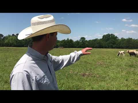 MAKE MONEY! Uniform set of cows for sale