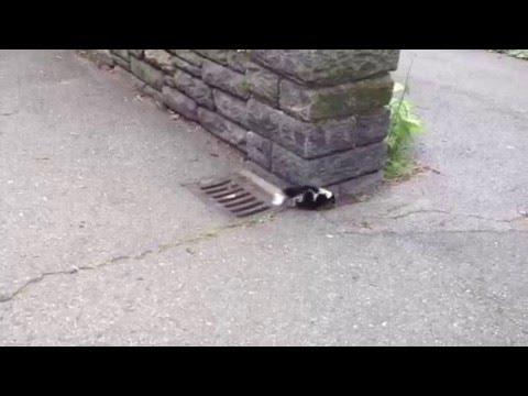 Skunk in Summer Fort Tryon Park, Manhattan