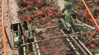 Kombajnowy zbiór pomidorów   kombajn Guaresi