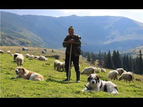 Stâna Ardelenilor De La Piciorul Iancului | Borșa | Munții Rodnei - Video 2019