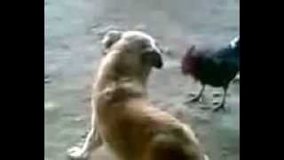Dog and Rooster FIGHT  !! Very Funny Video