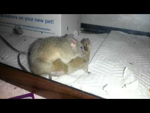 Mice at night having sex