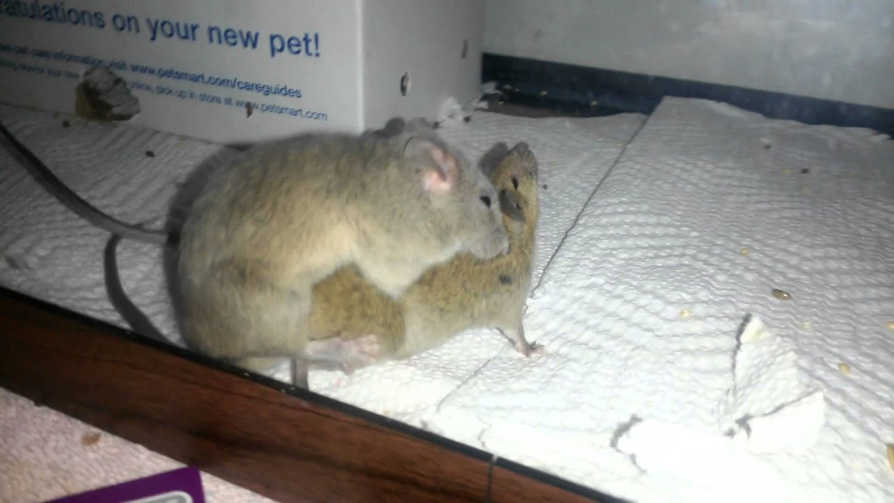 Mice At Night Having Sex