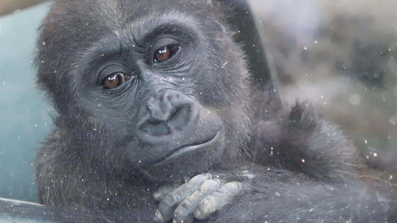 ママ、何で?なぜか子供の体に唾をかける母ゲンキ⭐️ゴリラGorilla【京都市動物園】delicious? Kintaro licks his mother's spit many times.