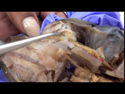 Dogfish Shark: Eye Muscles Part II