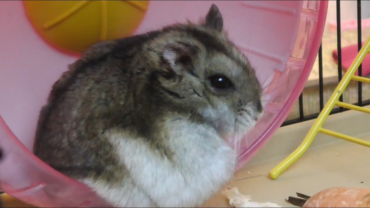 CUTE Hamster Washes