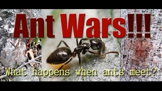 Ant Wars: What Happens When Two Ant Colonies Meet?