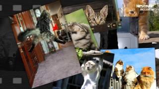 Nest - Смешные кошки ( funny cats 1) №001