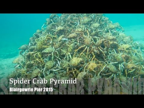 ORIGINAL VIDEO Melbourne Scuba Diver Films Stunning Spider Crab Migration Pyramid 2015 HD