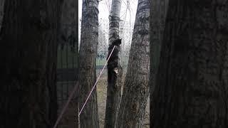 Кошка на поводке на дереве