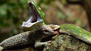 Pertarungan Reptil, Tokek Melawan Ular Sanca Hijau.  | TRANS7 OFFICIAL GLOBAL