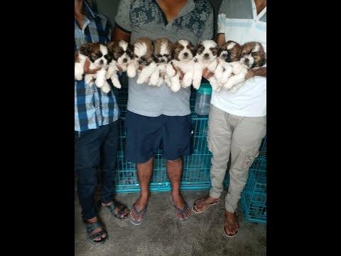 Shihtzu puppies sale in Low price || 7048966925 || Simran Pet Lover