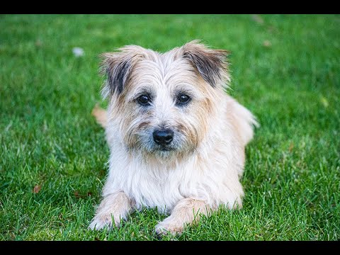 Sarge  A Cairn Terrier puppymill survivor is available for adoption through Cairn Rescue USA