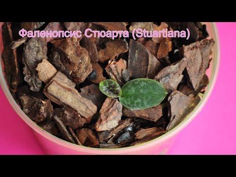 малютка  Stuartiana ❤ золотой субстрат ヅ пересадка детки орхидеи фаленопсис Стюарта