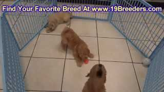 Goldendoodle, Puppies, For, Sale, In, Birmingham, Alabama, Al, Montgomery, Tuscaloosa, Jefferson, Sh