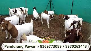 पांडुरंग पवार | बोअर बकरीची विक्री कशी करावी?|How to sale Boer goats ( Marathi)