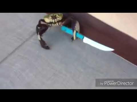 Crabe Avec Un Couteau crabe avec un couteau - youtube