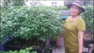 Xem vườn rau sân thượng Khoa Hiền hôm nay có gì ? | Khoa Hien 246