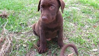 Labrador Retriever , Puppies For Sale, In, Lubbock, Texas, Tx, Waco, County, Garland, Irving