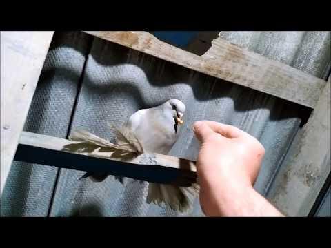 Вопрос: Какие команды понимают белые ручные голуби?