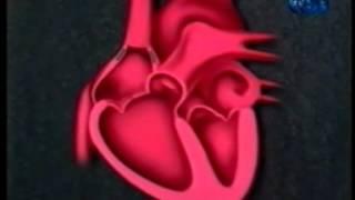 Почему сердце не устаёт, работая всю жизнь